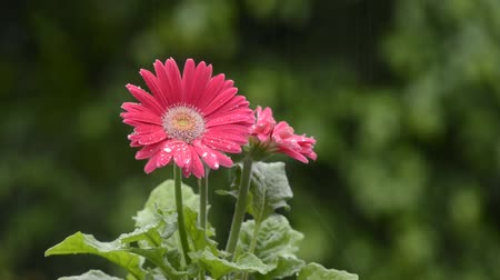 vernal : Pink gerbera flower wet with rain in front of green forest