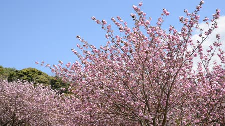 vernal : Double cherry blossoms on the right side under blue sky