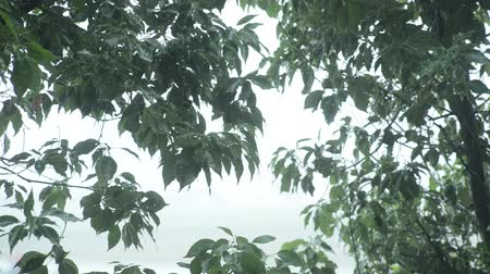 Green tree leaves pouring of heavy rain in front of white background 무비클립