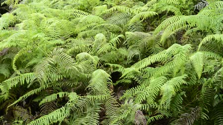 Bright green fern communities swaying in the wind all over