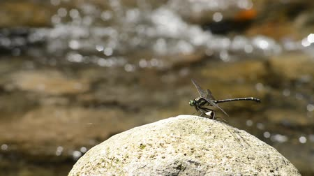 emperrado : Lager dragonfly of Sieboldius albardae stuck on the stone in front of brook
