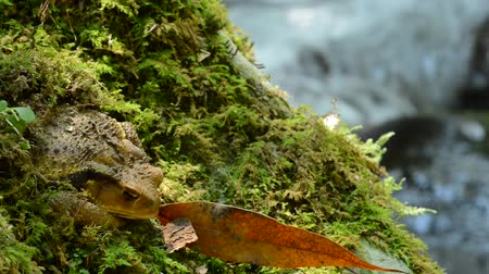 kurbağa : A brown toad resting on a green moss in front of brook Stok Video