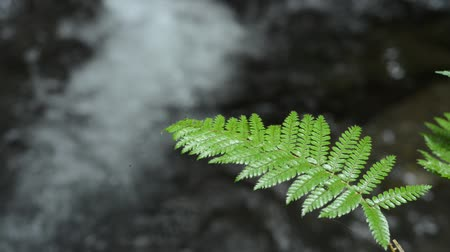 paproć : Glossy green fern leaf in front of brook Wideo