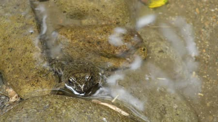 kurbağa : Wrinkled frog exposed face from underwater with small fish