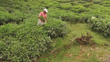 mahe : African Woman Gathering Tea Leaves On The Tea Factory, Sans Souci, Seychelles