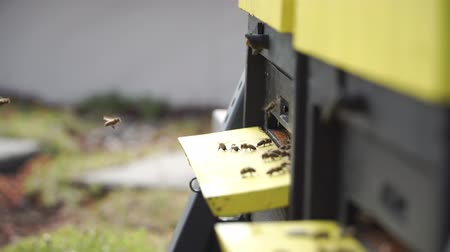 Swarm of bees deliver nectar flying around beehive