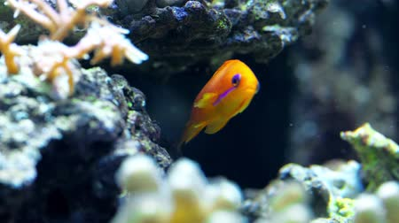 karga : colorful fish swim in an aquarium eat corals and play