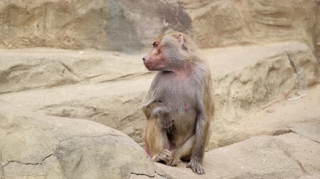 baboon : monkey sits on a stone and yawns Stock Footage