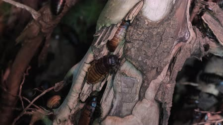 madagascan : many large cockroaches on wood Stock Footage