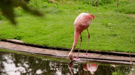 wild pink flamingo drinks water