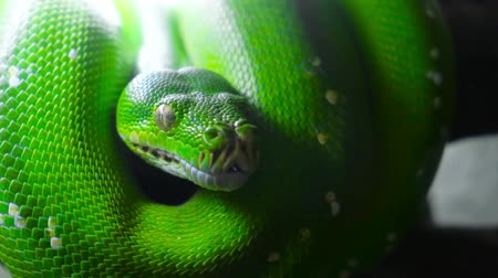 sicília : green snake sticks out tongue