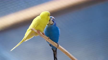 two colorful parrots gives food to each other