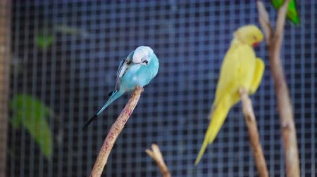 オウム : two colorful parrots gives food to each other