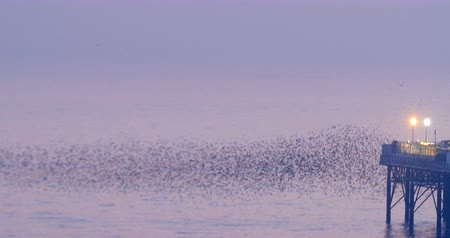 szpak : Murmuration of a big flock of starlings over the sea by Brighton pier at sunset