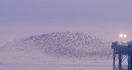szpak : View of a big flock of starlings over the sea by Brighton pier at sunset