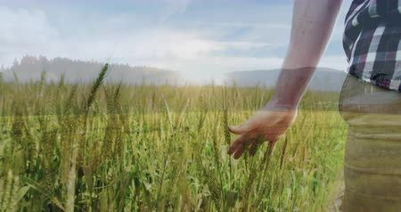 reszelt : Close up of a man touching the grass while walking on the filed 4k Stock mozgókép