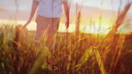abandonment : Rear view of a man in white long-sleeves walking across a wheat field during sunset