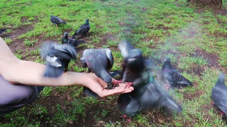 garça real : Pigeons, dove eat seeds from a hand. Summer park. Pov.
