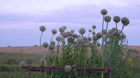 шалот : Beautiful White Allium circular globe shaped flowers blow in the wind Стоковые видеозаписи