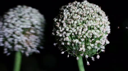 шалот : Two onion (Allium Cepa) flower at night Стоковые видеозаписи