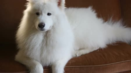 large breed dog : White Happy Purebred Dog Lying on Sofa At Home
