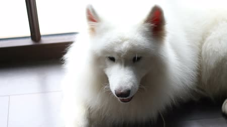 samoyed : Big white dog lies and shakes his head Stock Footage
