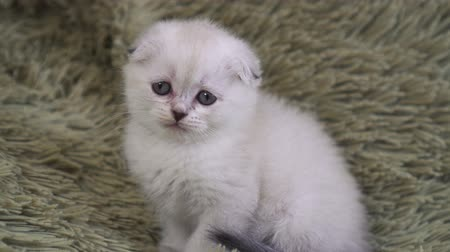 blueeyes : portrait of a small cute white lonely kitten Stock Footage