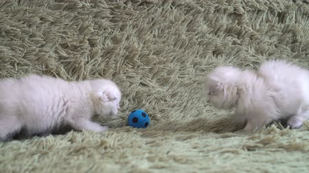 bichano : Two little cute white kitten playing football