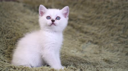 элита : Cute white kitten sitting on the bed