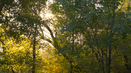 frondoso : Enchanting sun rays beautifully illuminating a beech forest in vivid shades of fresh green at autumn Vídeos