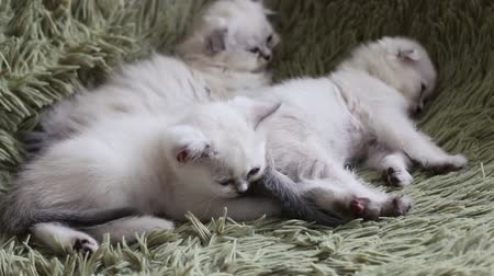 domestic short haired : Kittens falling asleep while cuddled up to another sleeping kittens