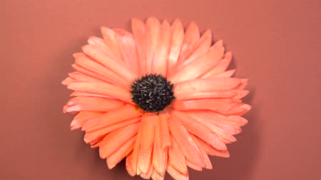 camomila : Beautiful red daisy flower fast spinning on a rotating brown background. Vídeos