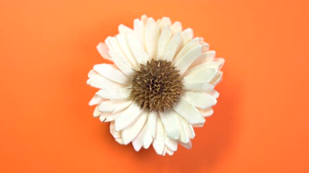 camomila : Beautiful single daisy flower slowly spinning on a rotating orange background. Vídeos