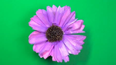 camomila : Lilac colored cosmos flower slowly spinning on a rotating green background. Vídeos
