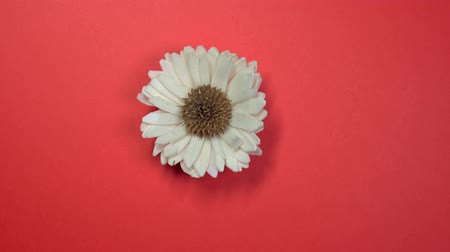 margaréta : Beautiful single white daisy flower slowly spinning on a rotating yellow background.