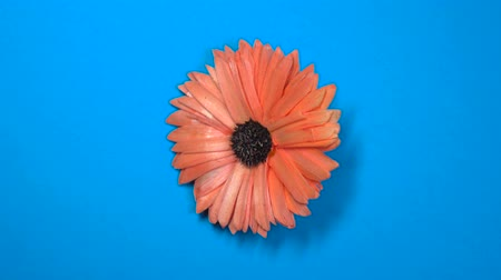 camomila : Beautiful red daisy flower slowly spinning on a rotating blue background.