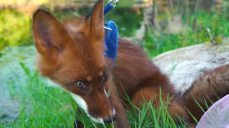 eaten : Fox in a collar walks on the nature and eats green grass Stock Footage