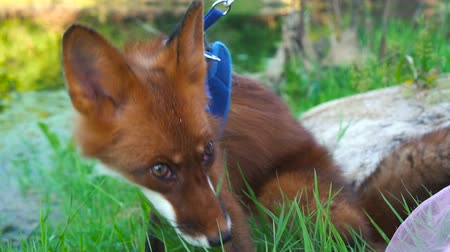beest : Fox in a collar walks on the nature and eats green grass Stockvideo