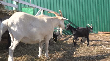 загон : close up view of goats grazing in corral with wooden fence at farm