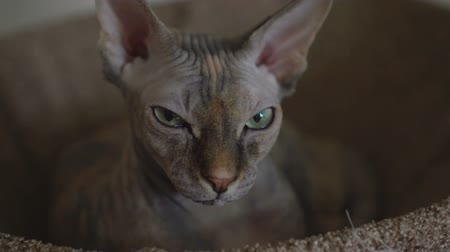 esfinge : The proud cat of the Sphynx lies in his bed and enjoys the relax