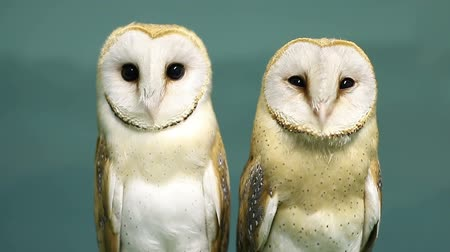 uil : Two beautiful barn owls. Stockvideo
