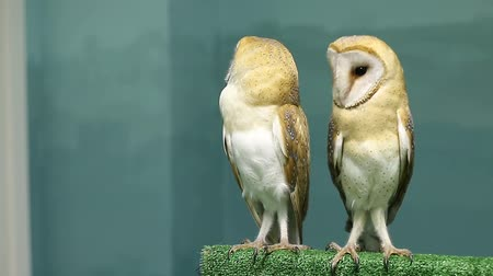 moudrý : two cool barn owls sitting together and dancing Dostupné videozáznamy