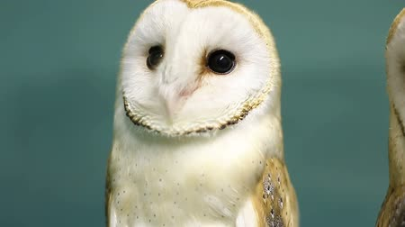 moudrý : Head of beautiful barn owl