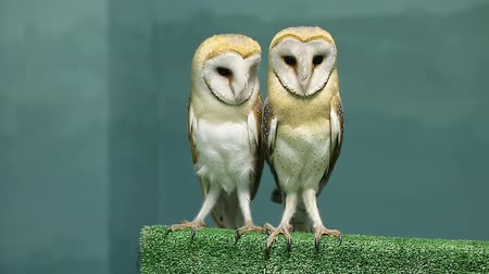 temas animais : Two cute barn owls from the family of Tytonidae Vídeos