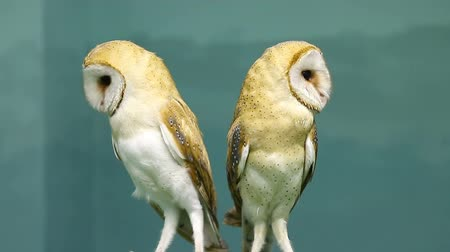 cetreria : Couple of two beautiful barn owls Archivo de Video
