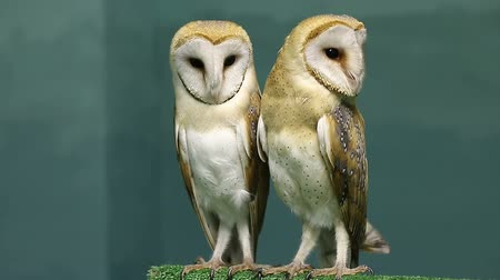 uil : Couple of two beautiful barn owls Stockvideo