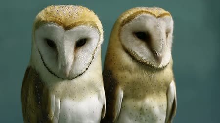 temas animais : Two beautiful barn owls. Vídeos