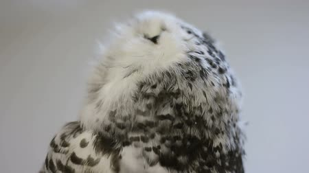 moudrý : Portrait of snowy owl chick on a background of white