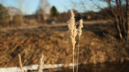 kamış : Dry grass flower blowing in the wind, red reed sway in the wind. Reed field in autum Stok Video