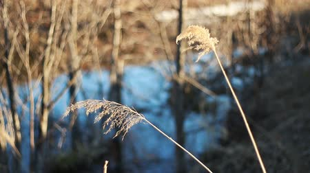 juncos : Selective soft focus of dry grass, reed, stalks, in the wind by the light, horizontal, blurred background. Vídeos